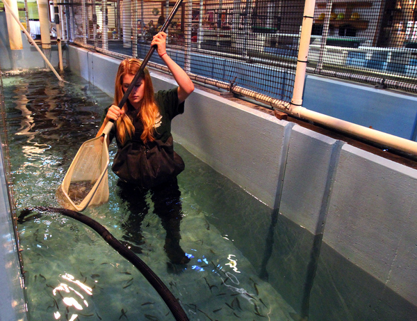 Casa Grande student Kerrianne McCarthy moves steelhead from one tank to another at the on-campus fish hatchery. (Jeff Kan Lee / The Press Democrat)