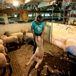 Gordon Swenson prepares another sheep for its shearing.